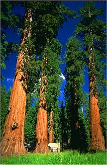 Sequoia's in Mariposa Grove