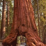 Sequoia tree in Wawona Yosemite