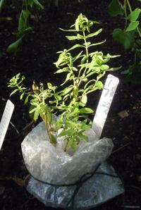 Pot ingepakt Aloysia triphylla