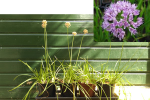 Allium senescens en bloem 160900