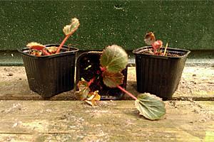 Saxifraga stolonifera Moederplantje