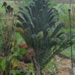 Palmkool Brassica oleracea