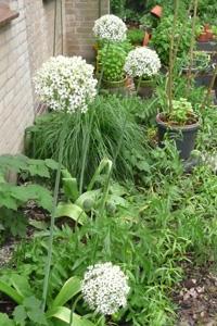 Allium multibulbosum
