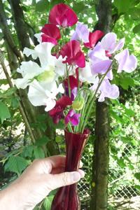 Lathyrus odoratus Scented Mix (reukewrt) op 10-07-16