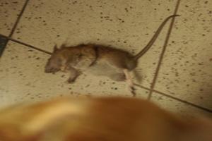 Tinus met rat