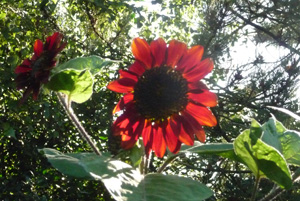 160907 Helianthus annuus middel rood in ochtendzon