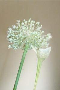 160916 Allium