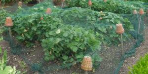 180617 Winterbourne Gardens (07) Aardbeien met net
