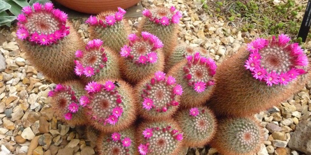 180617 Winterbourne Gardens (14) Bloeiende cactussen in droge kas