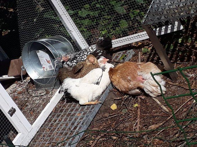 Kippen in de zon